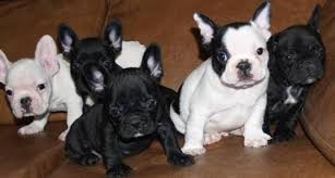 REGALO cachorros de bulldog frances